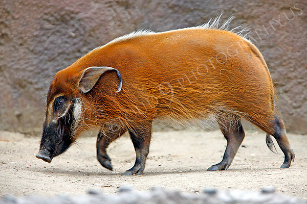 Red River Hog Wildlife Photography