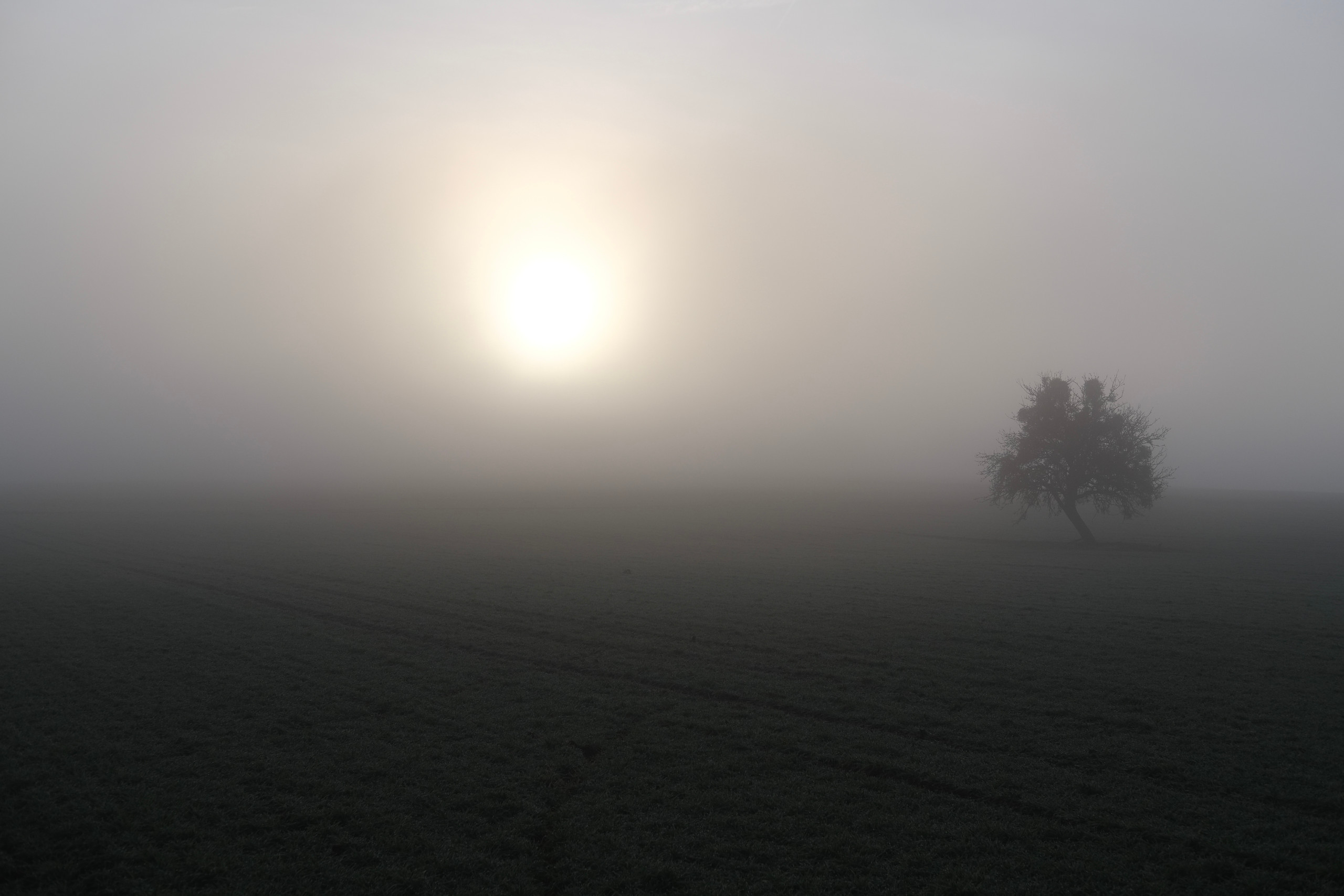 Winter field with frost covering the green and the sun behind fog, a tree in stark contrast