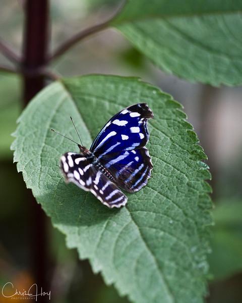 Myselia cyaniris