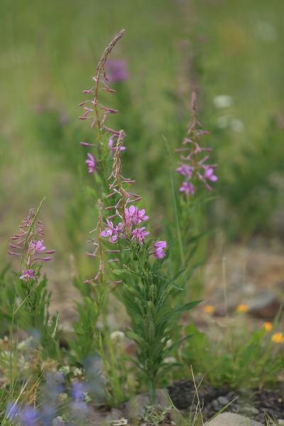Fireweed - I think....