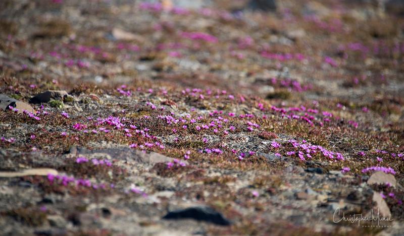 Purple Saxifrage.jpg
