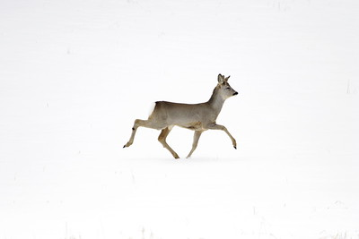 Strutting roe buck