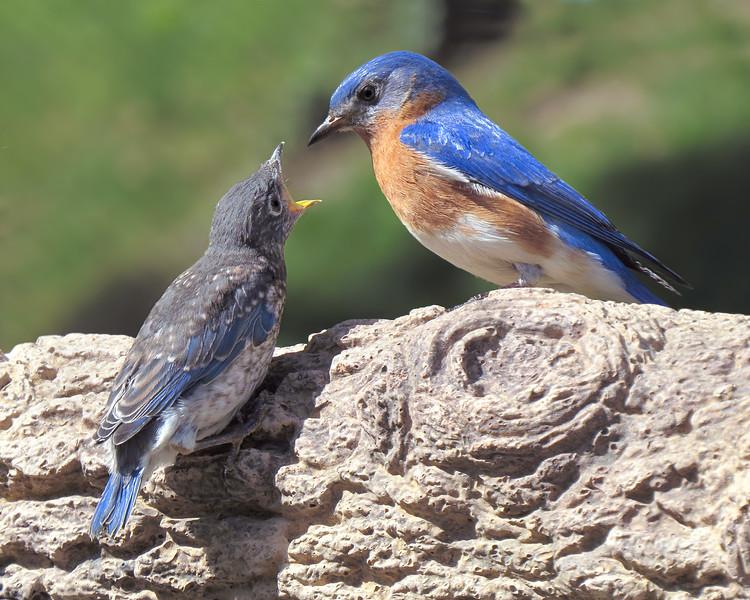 sx50_bluebird_ben_fledgling_boas_489.jpg