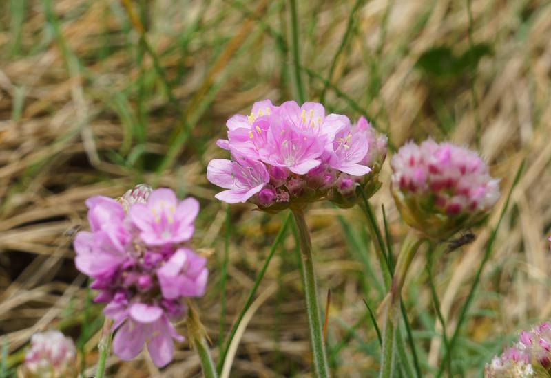 Wild Flowers, Fort Hommet Nature Reserve