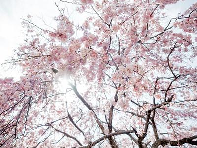 Sakura, 2016