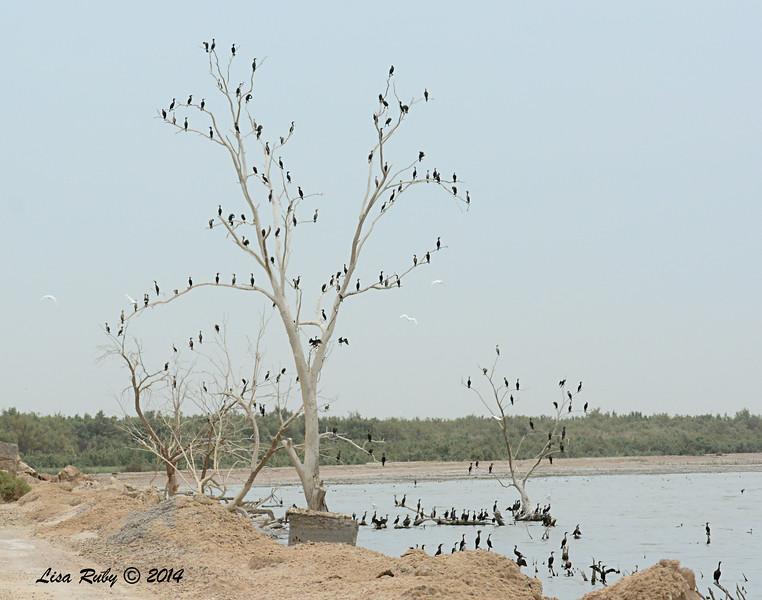 Cormorant Ornament Trees :-)   - 7/27/2014 - Salton Sea