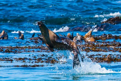 Flying Sea Lions