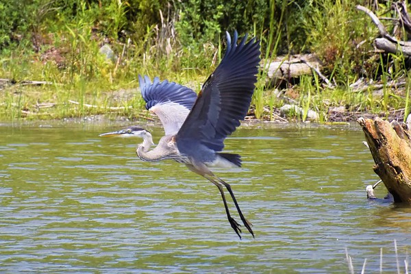 Blue Heron at Tommy Thompson Park (July 2021)