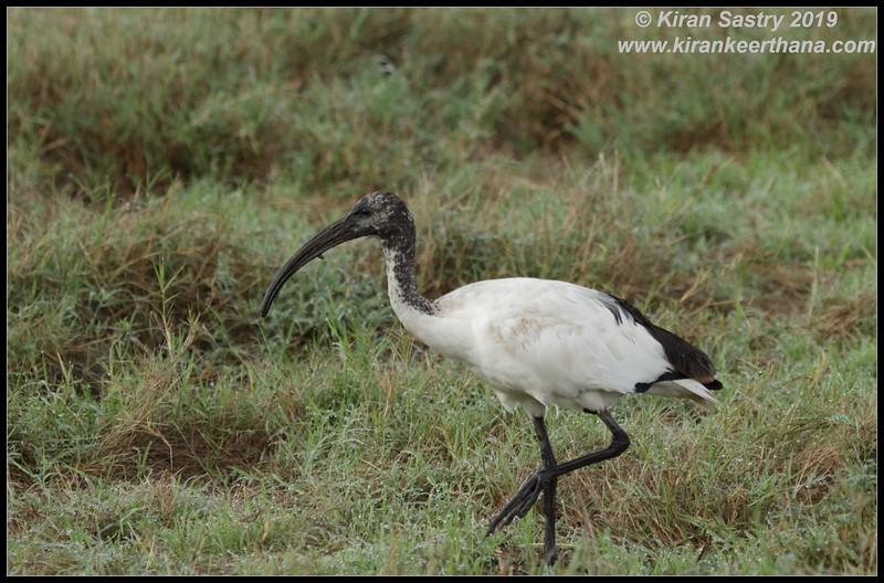 Sacred Ibis, Ngorongoro Crater, Ngorongoro Conservation Area, Tanzania, November 2019