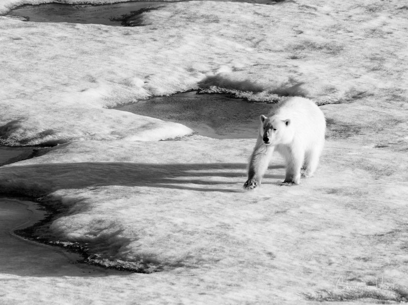 Bear on Ice.jpg