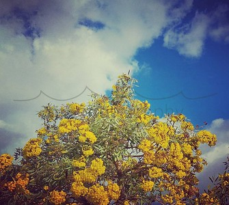 #riseup... be the #best you can...because even if you don't feel like it, you can #bethechange & make a difference. #keokeagirl #yellowjacaranda #bluesky #maui #ilovetrees