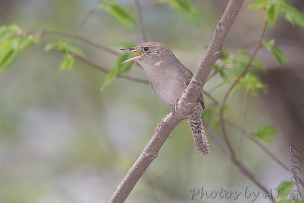 2007-04-28 Birding Cuba Mo