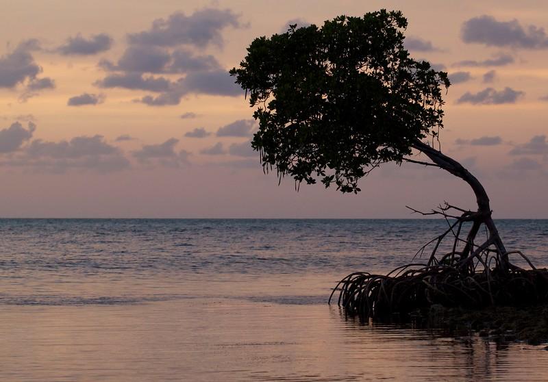 mangrove after sunset