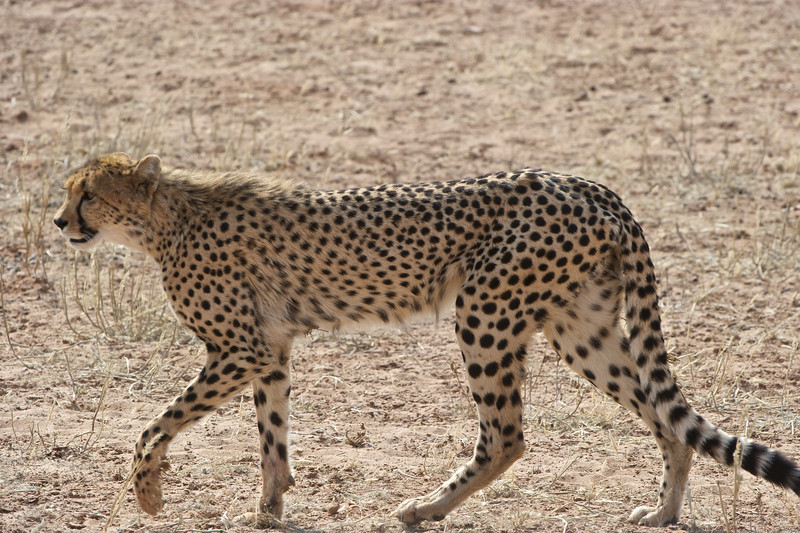 Cheetah hunting springbok, Kgaligadi Transfrontier Park, South Africa
