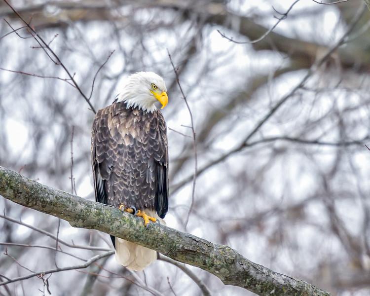 -_Bald Eagle 2014-12-18-11.jpg