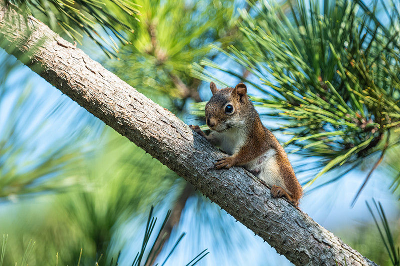red squirrel in pine.jpg