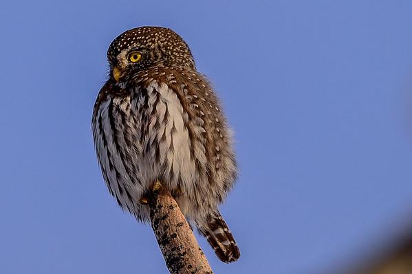 1-9-15 Northern Pygmy Owl 1