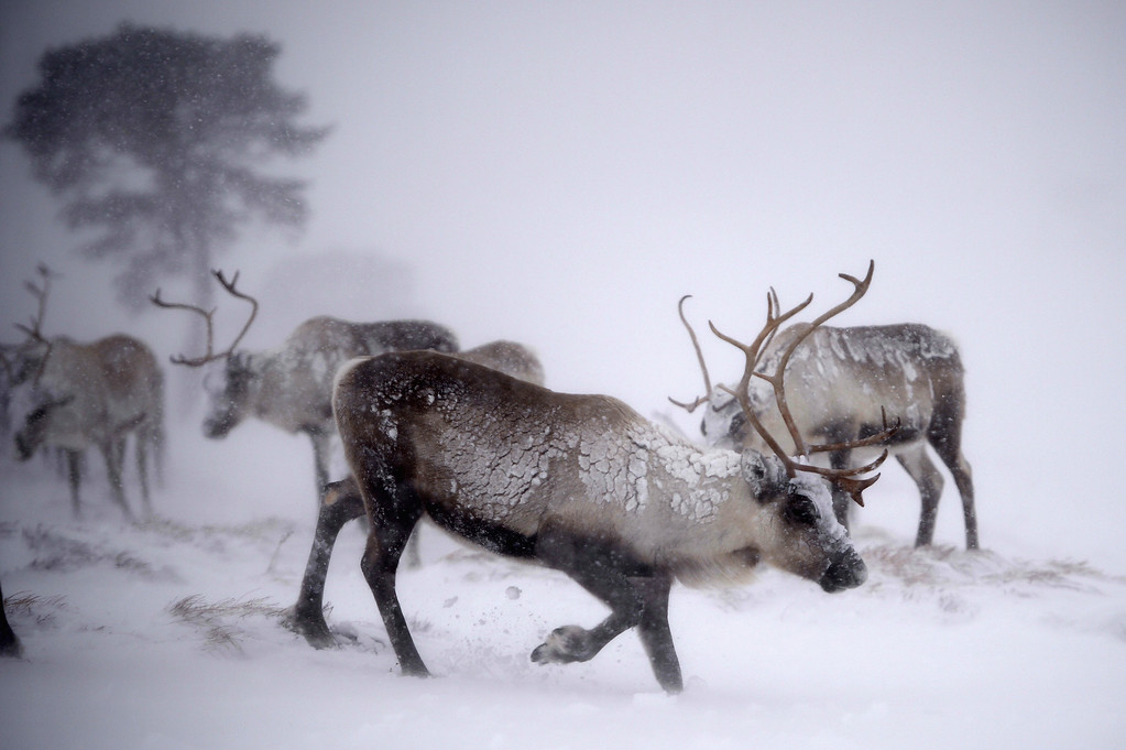 . Reindeer from the Cairgorm Reindeer Herd walk through heavy snow on December 23, 2013 in Aviemore, Scotland.  (Photo by Jeff J Mitchell/Getty Images)