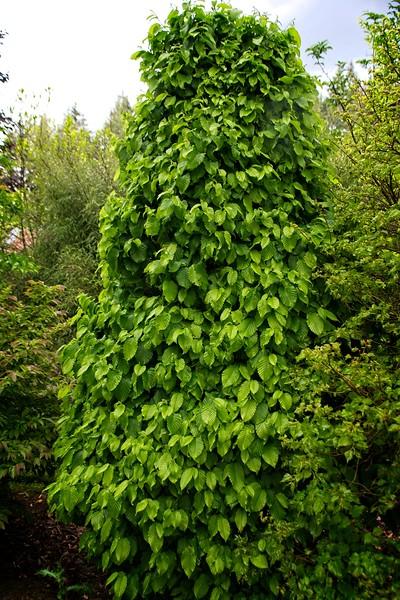 Carpinus betulus 'Columnaris Nana' 2020/05/12