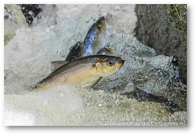 375 Sounds Fishy