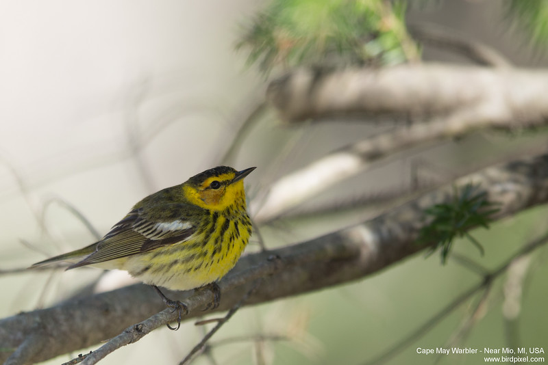 Cape May Warbler - Near Mio, MI, USA
