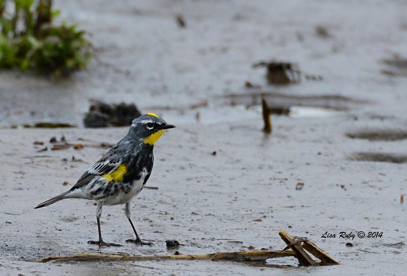 Yellow-rumped Warbler - 4/4/14 - Lake Hodges near Lake Shore Drive