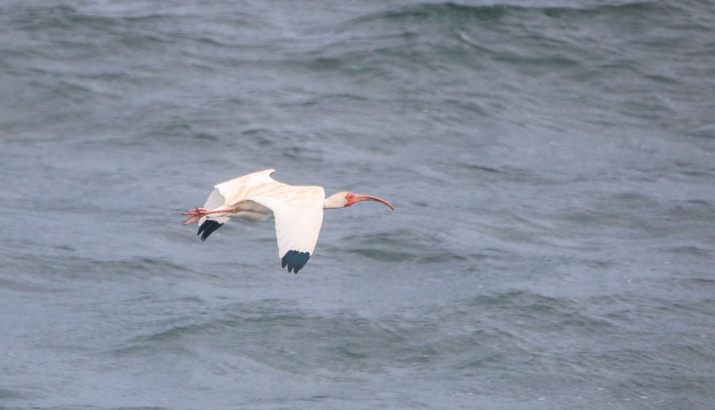 White Ibis in Flight over the ocean
