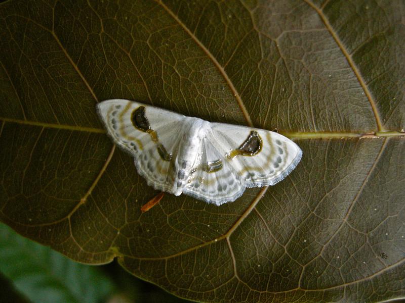 Vietnamese bird dropping mimic moth