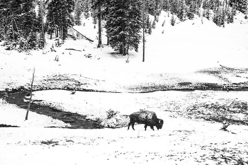 Bison Gibbon Meadows Yellowstone National Park WY DSC05160.jpg
