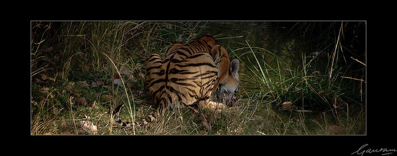 15: Bandhavgarh tiger sighting