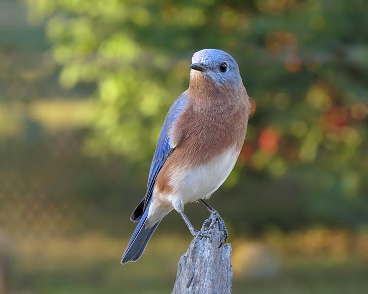 sx50_bluebird_boas_ben_127.jpg