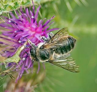 Megachile willughbiella (kirby, 1802)