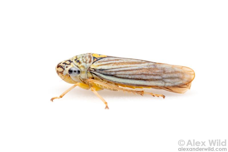 Graphocephala hieroglyphica