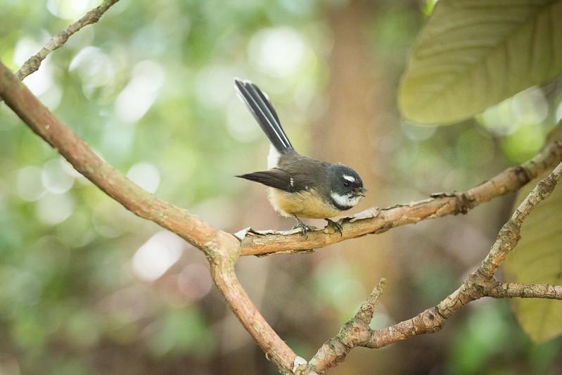 Fantail at Dunedin Botanical Garden