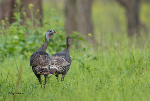 Turkeys_DWL0360.jpg