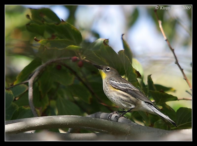 Yellow-rumped Warbler, Santee Lakes, San Diego County, California, October 2009