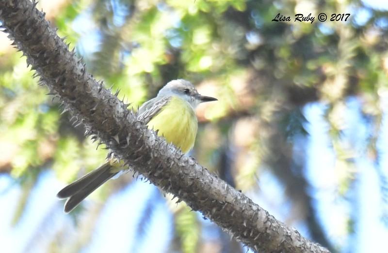 Tropical Kingbird - 12/16/2017 - Balboa Park