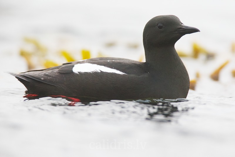 Black Guillemot swims in ocean
