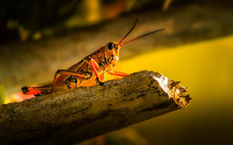 Grasshoppers 65.jpg