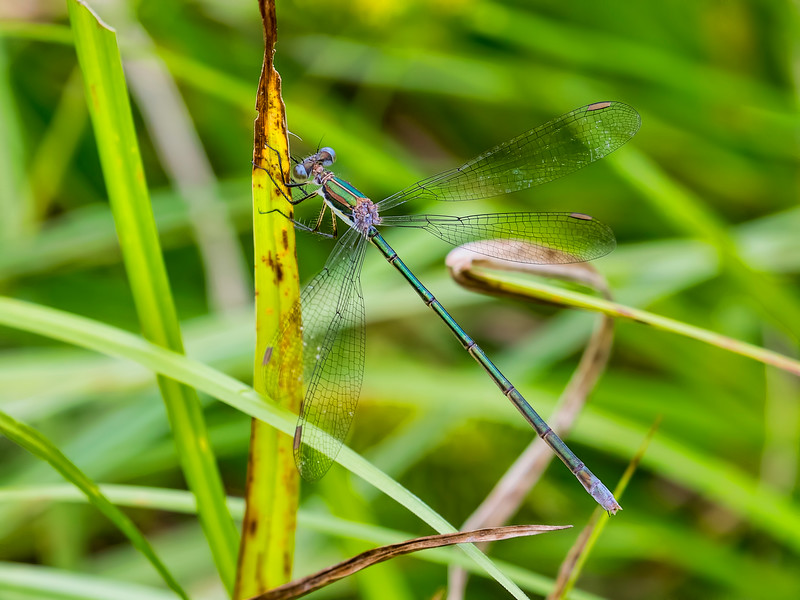 Swamp Spreadwing (Lestes vigilax) female, Whipple Dam, Huntingdon Co, PA