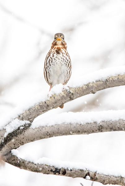 Fox Sparrow in snow October Skogstjarna Carlton County MN  IMGC7851.jpg