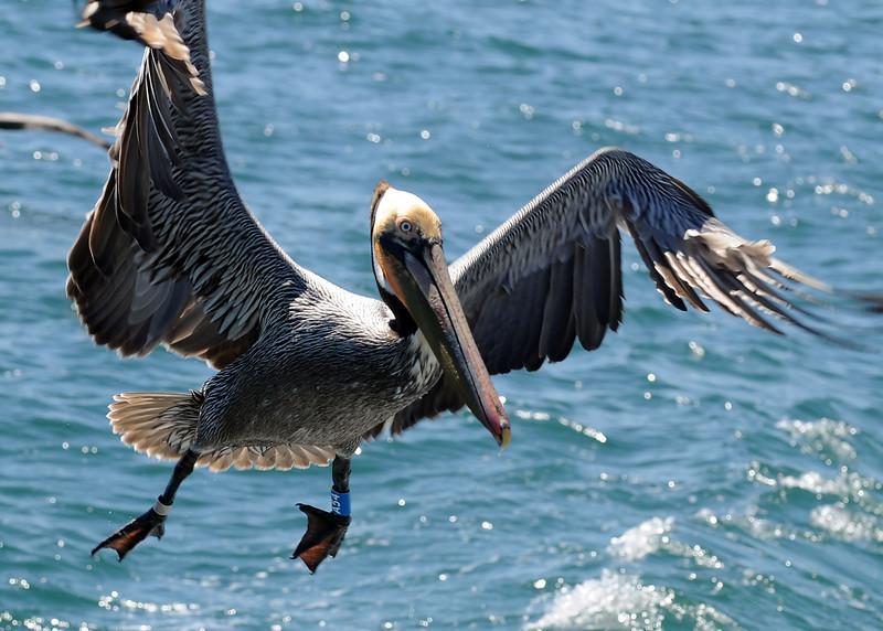 Brown Pelican A54