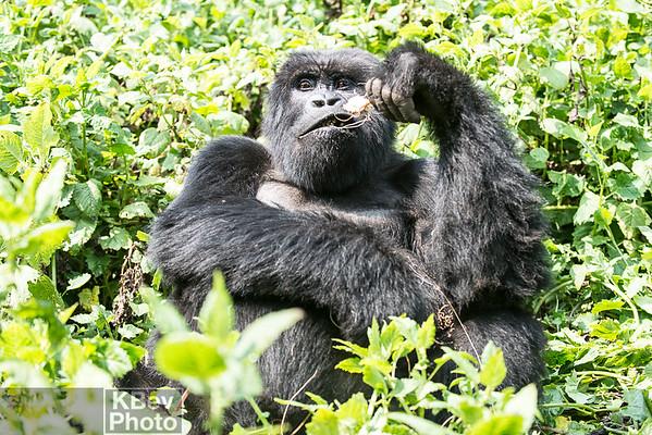 Gorillas of Rwanda (Jul 16)