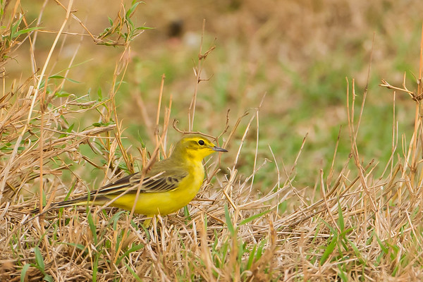Western-Yellow Wagtail