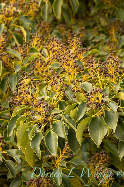 Trochodendron aralioides with seed heads_0590.jpg