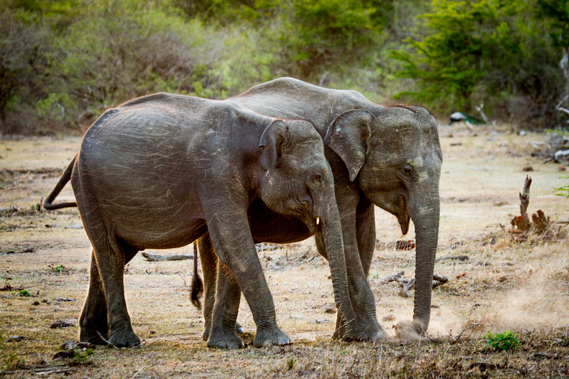 Sri Lankan Asian Elephants (Elephas maximus maximus) in the dry season, Sri Lanka, Yala National Park