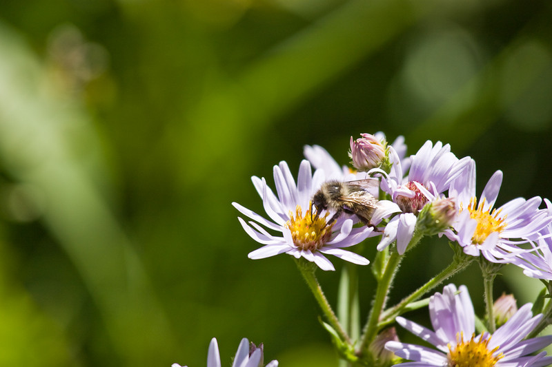 Bee and flower in Kananaskis Country, Alberta