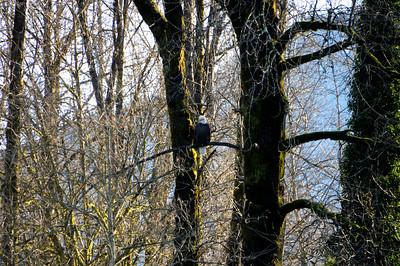 2009 (Dec) Skagit River Bald Eagles