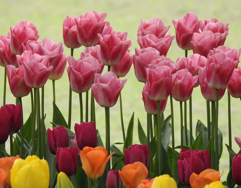 Tulips Standup And Shout