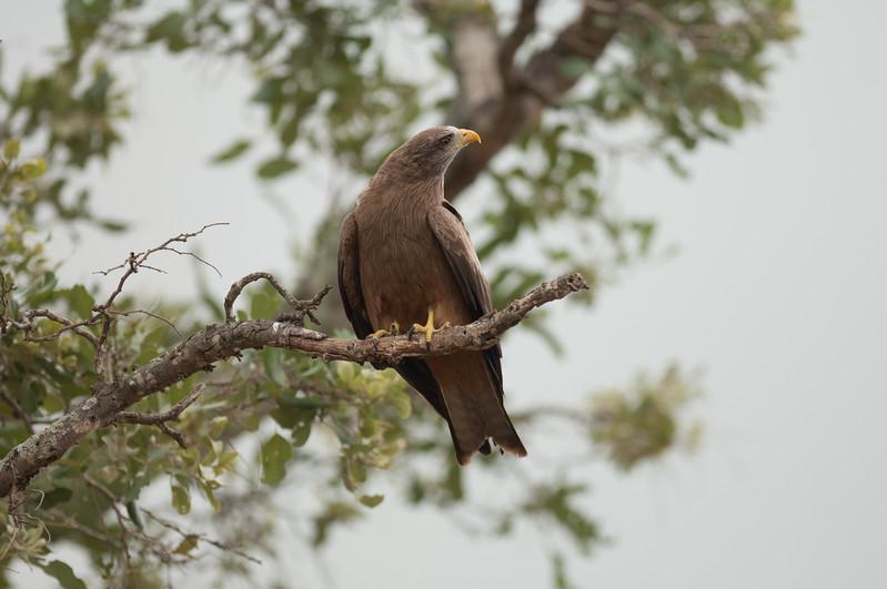 Yellow-billed Kite, Kruger National Park